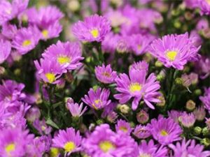 Mỗi màu hoa Thạch thảo lại mang ý nghĩa riêng biệt