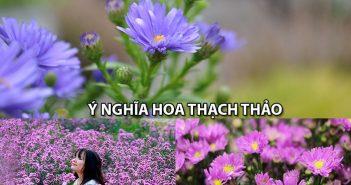 Bật mí ý nghĩa hoa Thạch Thảo