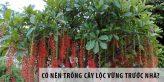 Có nên trồng cây lộc vừng trước nhà?