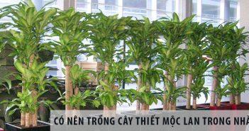 Có nên trồng cây thiết mộc lan trong nhà?